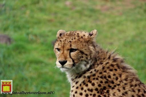 cheetahs vieren hun eerste verjaardag Zoo Parc Overloon (22) 11-11-2012.JPG