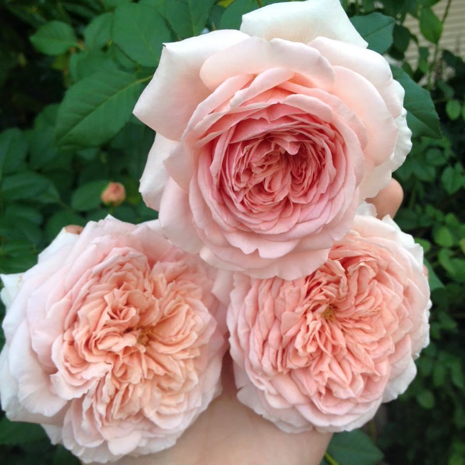 Hồng leo Abraham Darby Rose hoa có màu hồng cam. Các cánh hoa ở rìa màu hồng nhạt, càng đi vào tâm bông hoa màu sắc dần chuyển sang màu cam. Hoa có mùi hương mạnh mẻ