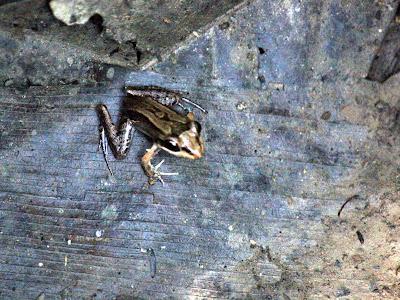 Frog on Monkey Island in Tambopata in the Amazon in Peru