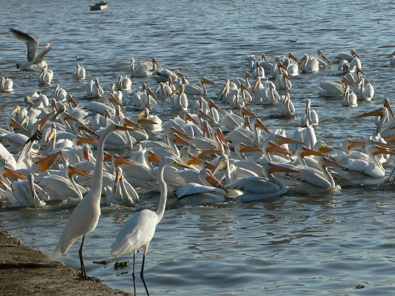 Jaime ramos m ndez pel canos borregones en la isla de - Fotos de pelicanos ...