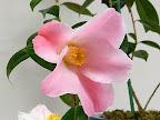 ピンク 一重咲き 小輪