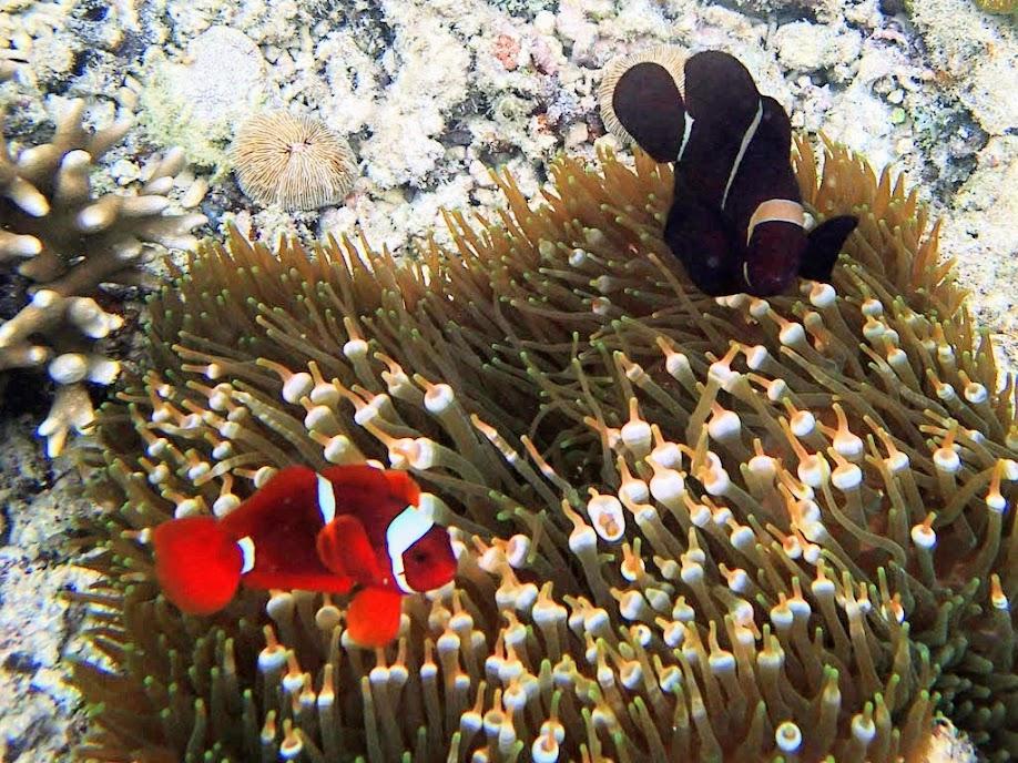 Premnas biaculeatus (Maroon Clownfish) with Entacmaea quadricolor (Bubble Anemone), Miniloc Island Resort reef, Palawan, Philippines.