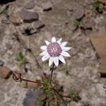The rare Pink Flannel Flower (Actinotus forsythii) AKA Ridge Flannel Flower (40587)