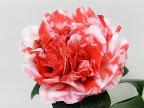 赤色地 白斑入り 牡丹咲き 内弁は小さい 大輪