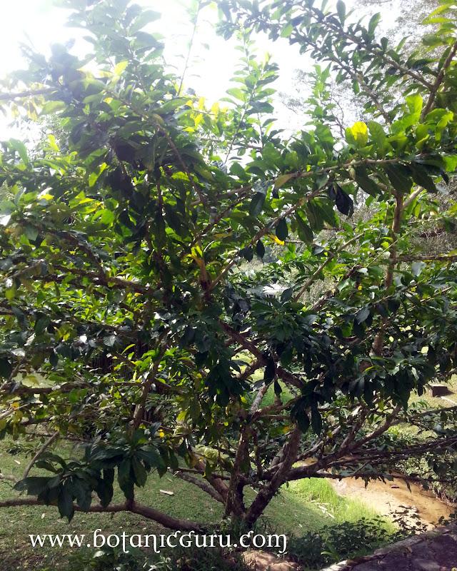 Crescentia cujete, Calabash Tree, Gourd tree