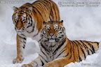 Skatetrix Photo Shows - siberian tigers