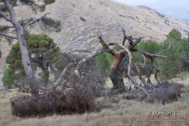 Pinar de Canava - Los Caracoles