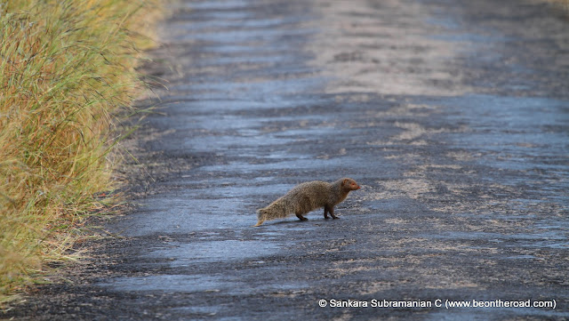 Common Mongoose crossing the jeep track in the wee hours of the road