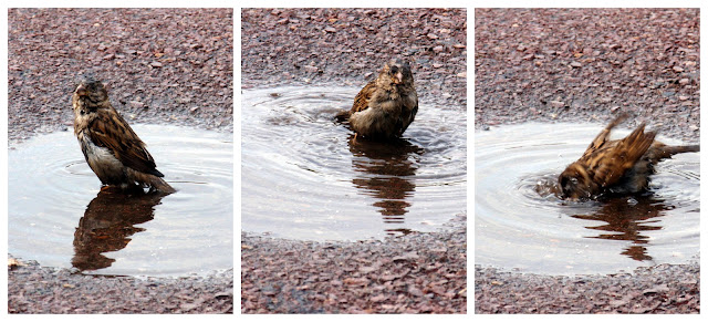 sparrow taking a bath