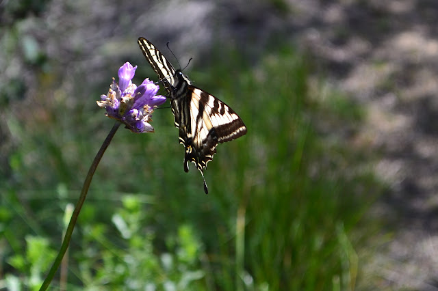 swallowtail butterfly on a blue dick