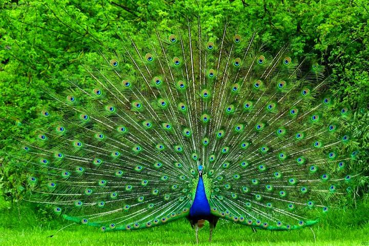 Peacock Wallpapers