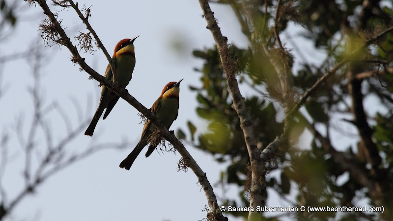 Chestnut Headed Bee Eaters at Yala National Park - 1