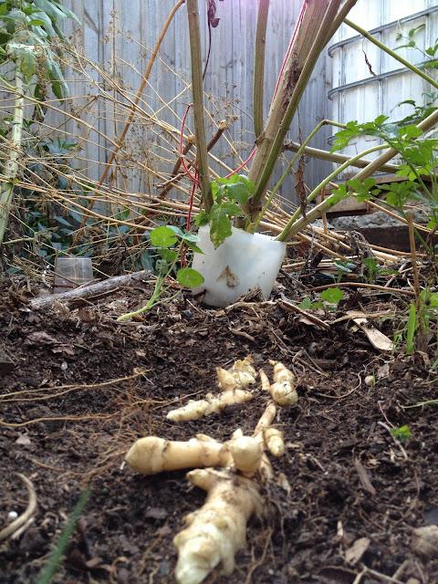 sunchoke roots