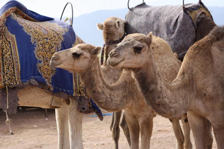 Marrakech, kameler
