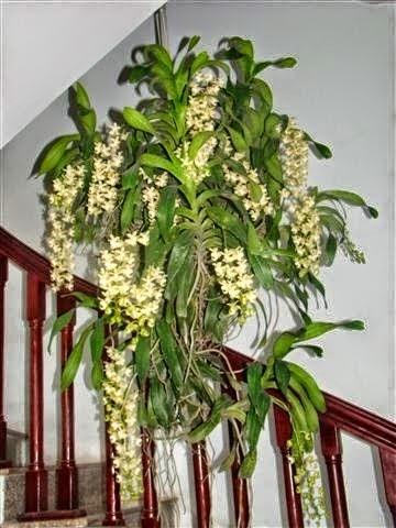 Quế là một trong số các loại lan rừng được ưa chuộng nhất