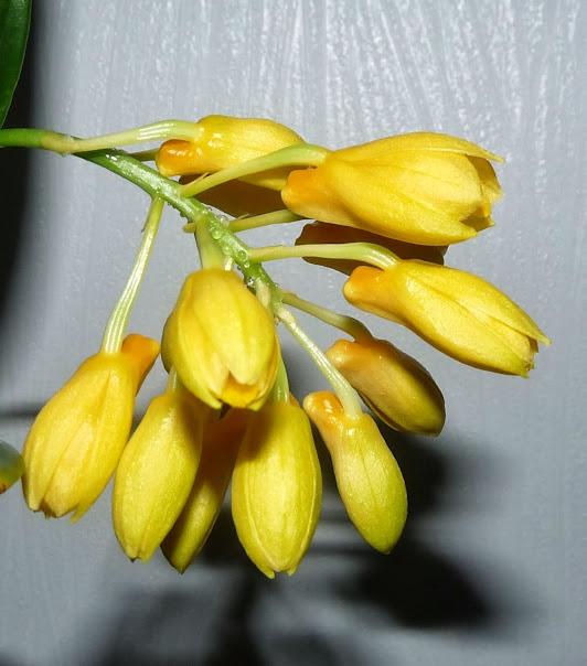 Dendrobium sulcatum P1370298
