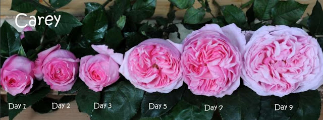 Hồng ngoại cắt cành Carey rose, qua các giai đoạn nở hoa