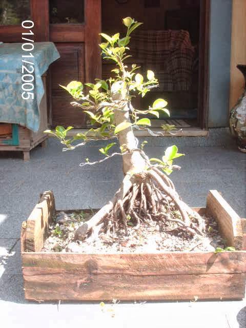 Ficus Microcarpa var. Indica... PICT2535