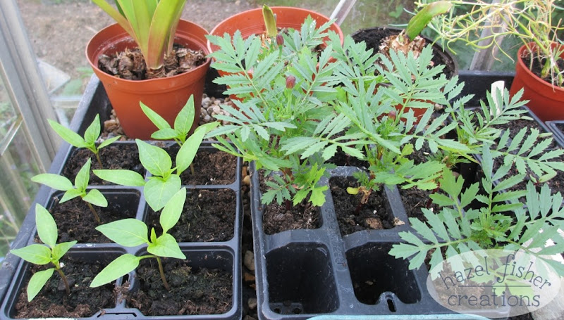 2015 June 01 may monthly review garden photo seedlings peppers marigold hazelfishercreations