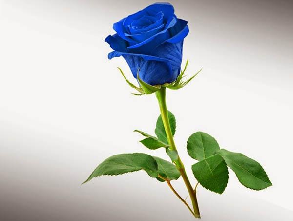 Cành hoa hồng xanh đẹp tuyệt vời