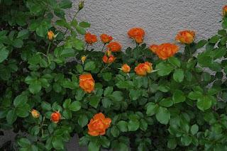 Trồng theo các bồn hoa quanh nhà