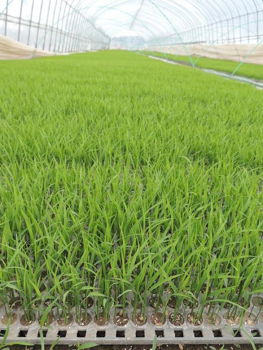 緑の絨毯1