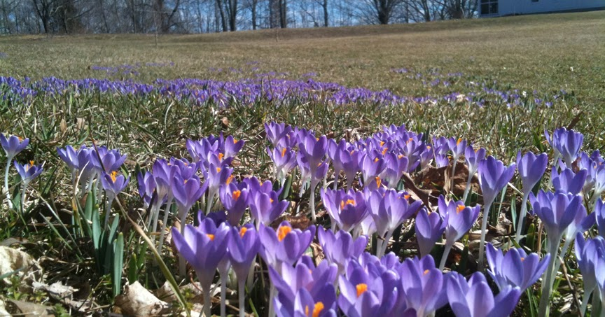 Growing With Plants Crocus In New England
