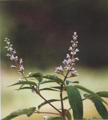 Indian Privet - Medicinal Plants healing