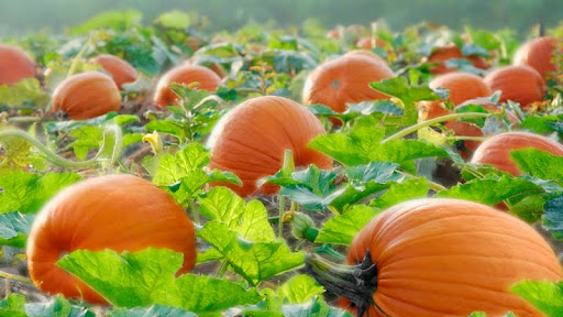 Pumpkins Ready to Harvest, Ohio.jpg