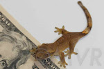 Zanzibar - Yellow tiger crested gecko from moonvalleyreptiles.com