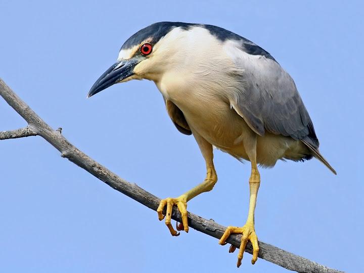 kwak, night heron, mike baird