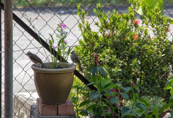burung liar mandi didalam pasu