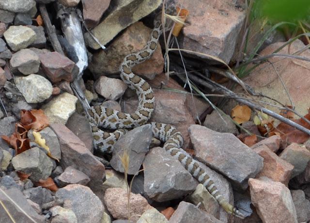 small rattlesnake