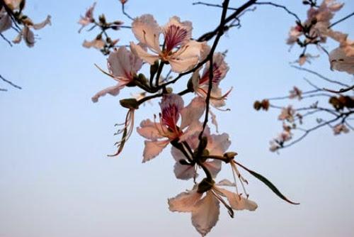 thang 3 hoa ban ve tren thao nguyen xanh moc chau2 Tháng 3 – mùa hoa ban về trên thảo nguyên xanh Mộc Châu