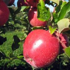 Камео яблони купить