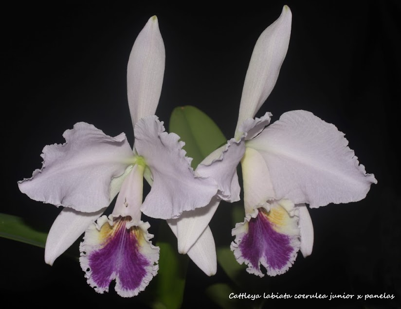 Cattleya labiata coerulea junior x panelas IMG_0127b+%2528Medium%2529
