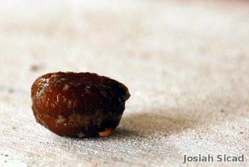 Seed of Kalapi