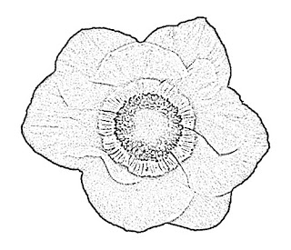 Anemone Sketch