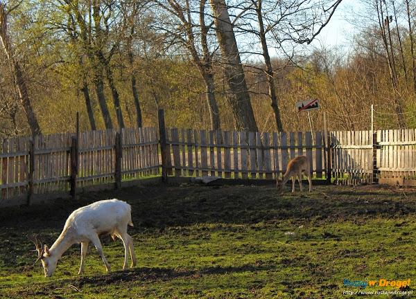 Kaszubski Park Miniatur Strysza Buda - biały daniel