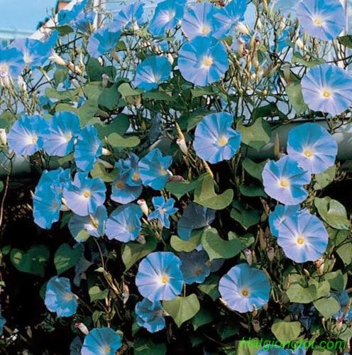 Hoa dây leo xanh