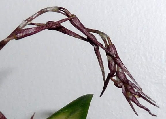 Pleurothallis schweinfurthii P1360952