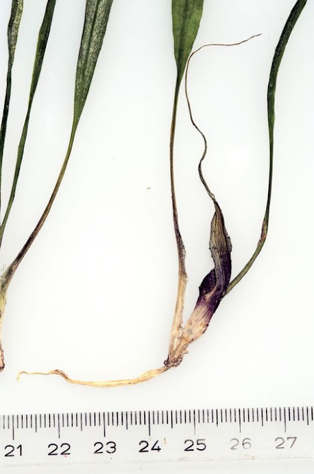 Криптокорина спиральная длиннохвостая (Cryptocoryne spiralis var. caudigera)