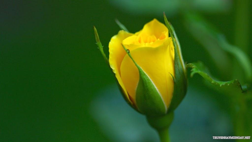 Hoa Hồng Vàng Rực Rỡ Tuyệt Đẹp