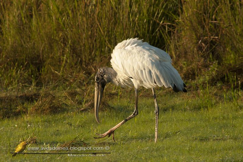 Cabeza de hueso (American-wood Stork)