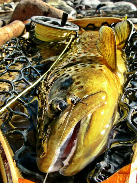 backcountry fall brown trout