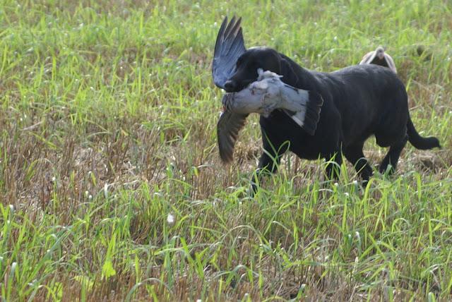 Sepelkyyhky kyyhkyjahti Labradorinnoutaja