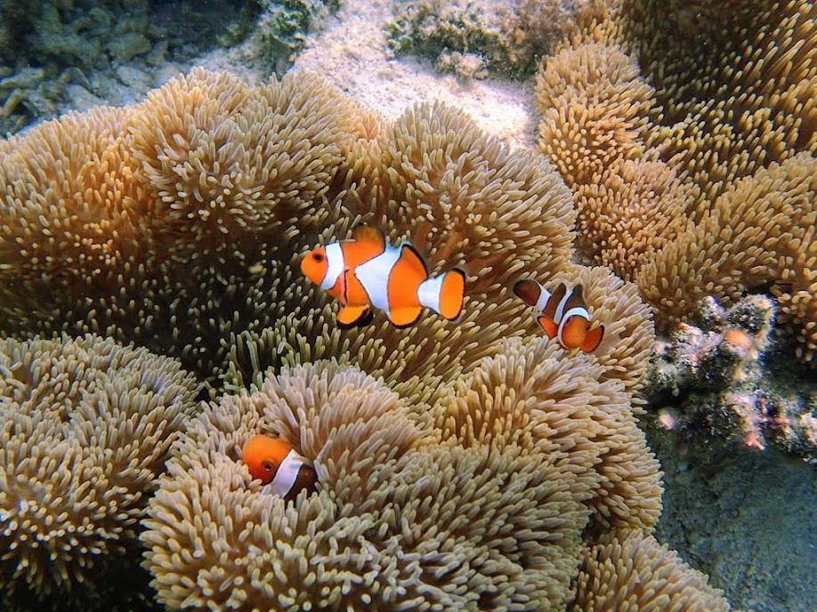 Stichodactyla gigantea (Giant Carpet Anemone), Amphiprion ocellaris (Ocellaris Clownfish), Chindonan Island,Palawan, Philippines.