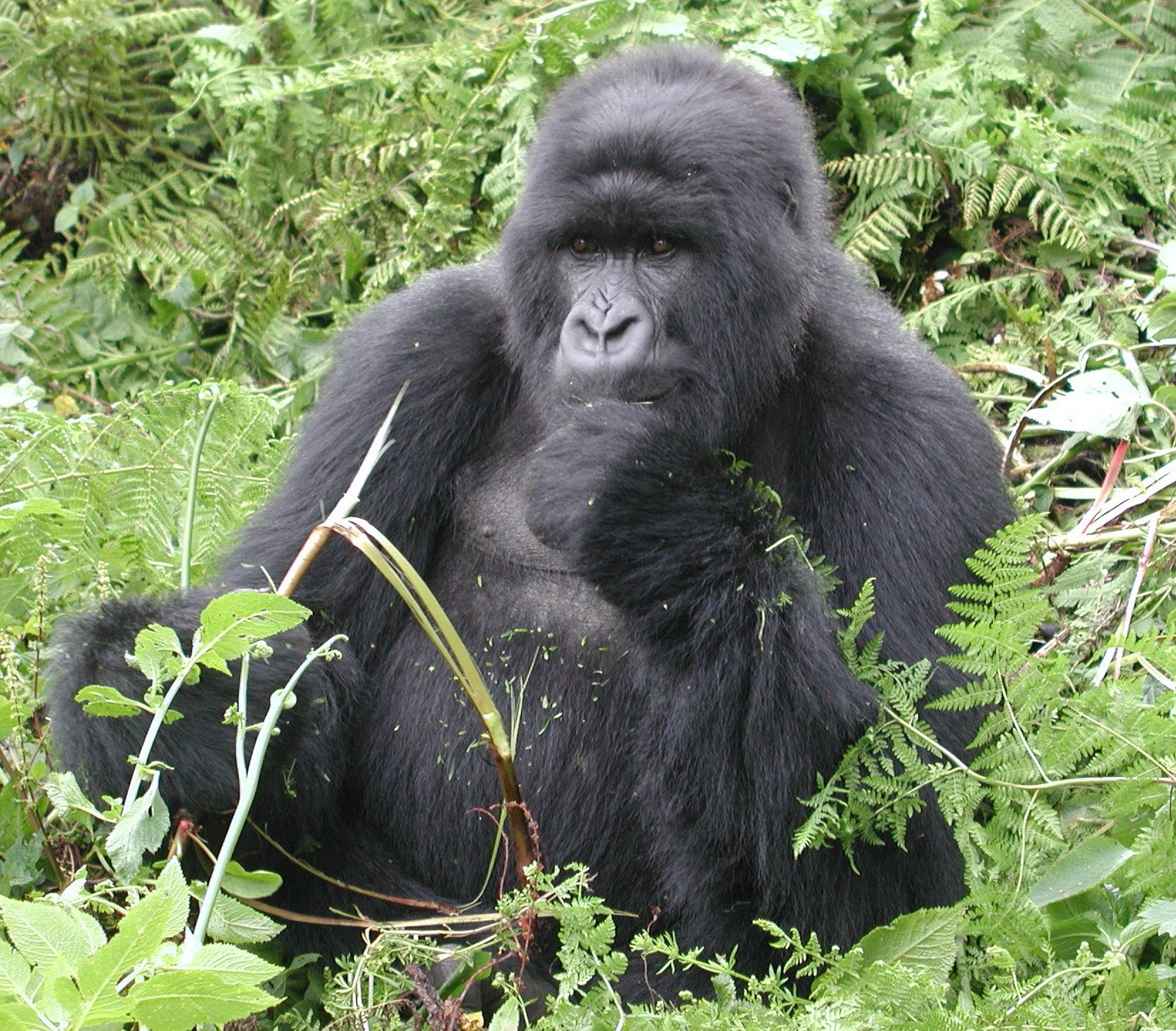 African silverback gorilla - photo#18