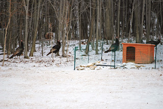 wild turkeys, western Pennsylvania