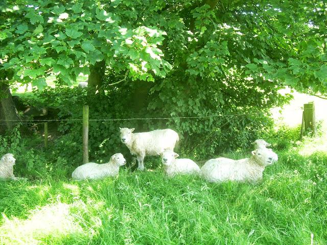 Dozing sheep